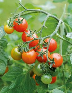 tomato-seed-click